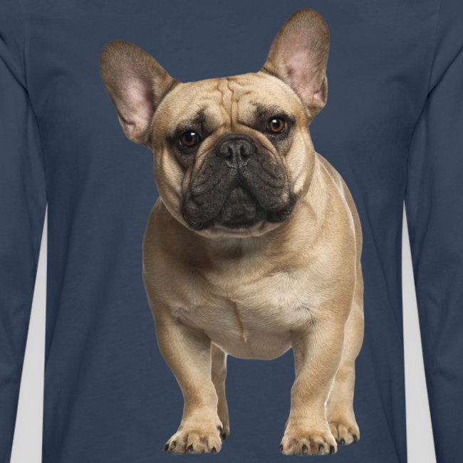 Französische Bulldogge stehend