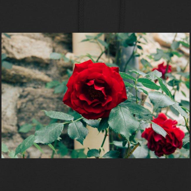 rose2 jpg