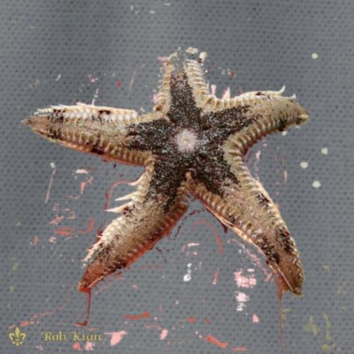 Starfish - Seestern - Turnbeutel
