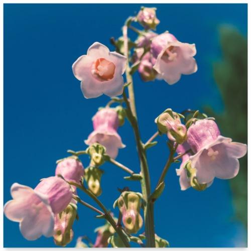 BLUME Glockenblume Rosa - Poster 60x60 cm