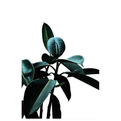 Plante d'intérieur ficus - Ficus tree decoration - Poster 20 x 30 cm