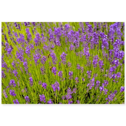 Lavendel - Poster 90x60 cm