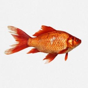 Cadeaux poisson rouge commander en ligne spreadshirt for Commander poisson en ligne