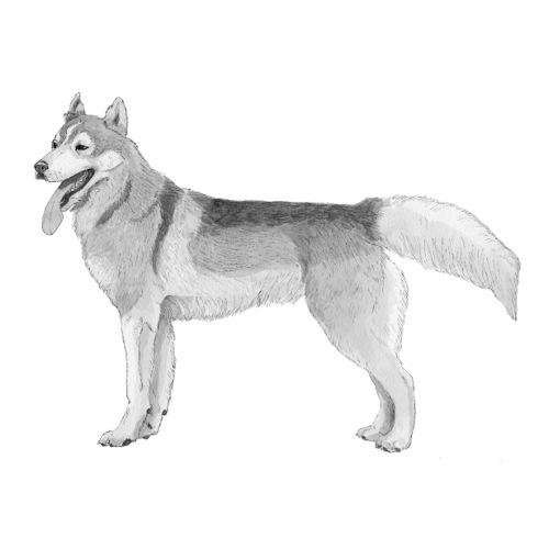 Siberian Husky sticker - Sticker