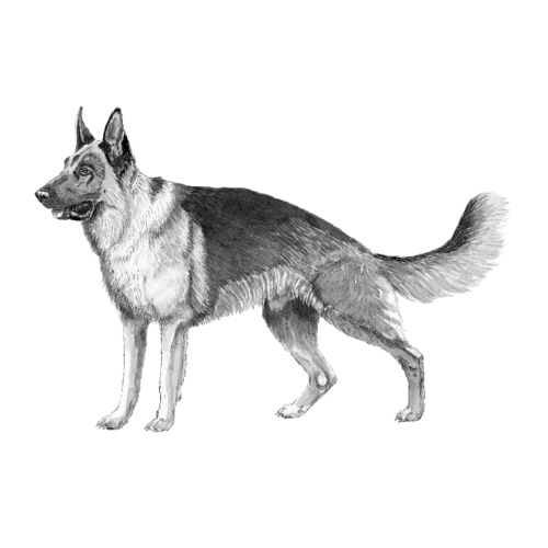 German shepherd sticker - Sticker