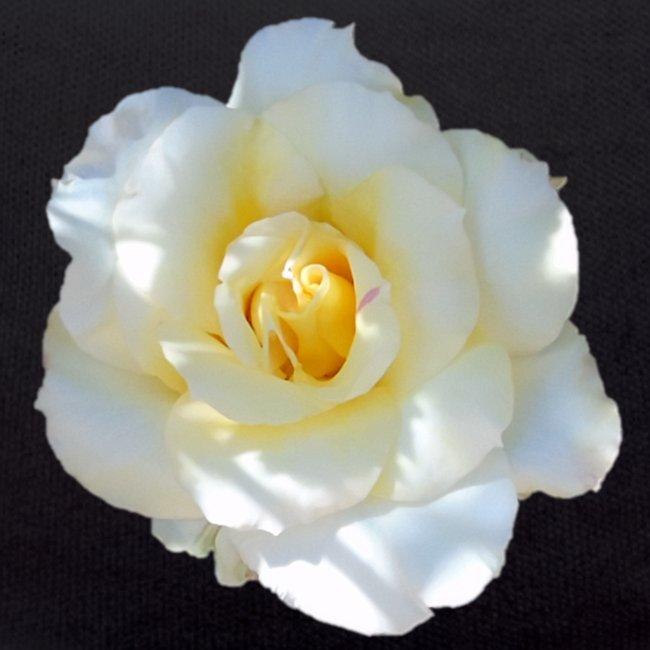 A white rose