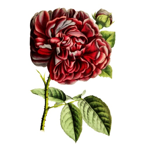 Vintage filled dark red Rose - Männer Premium T-Shirt