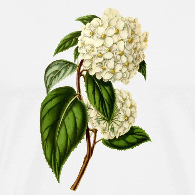 Vintage white Hortensia