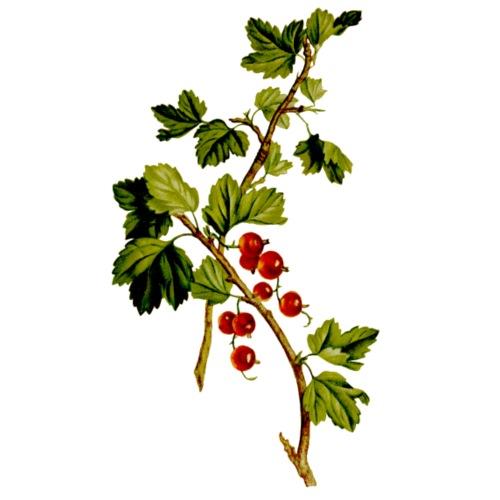 Rote Johannisbeer Zweige