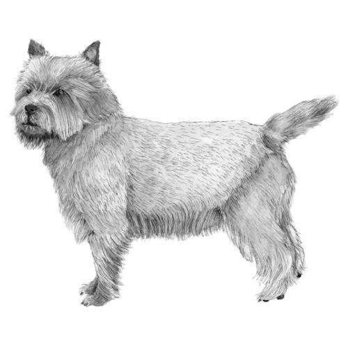 cairn terrier - Herre premium T-shirt
