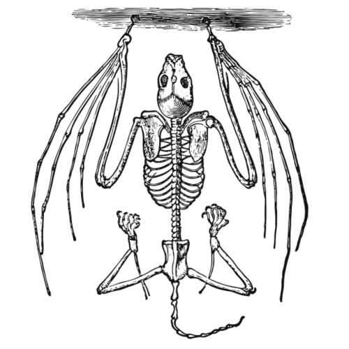 Flughund Skelett - Männer Premium T-Shirt