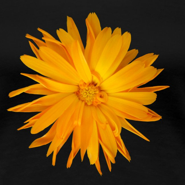 Ringelblume orange Sommer