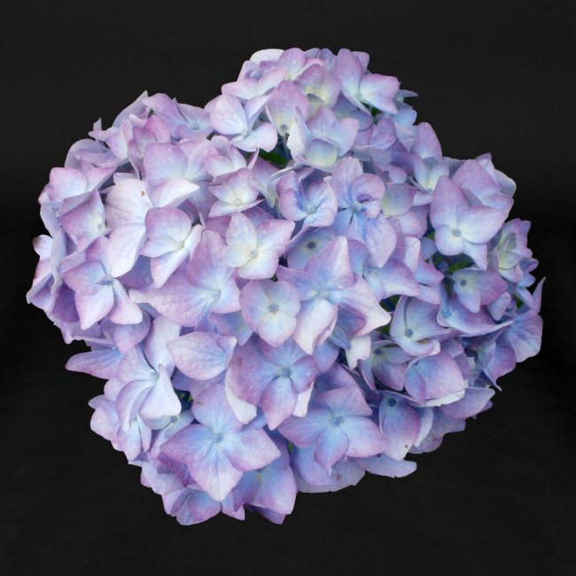 Hortensie lila Sommer
