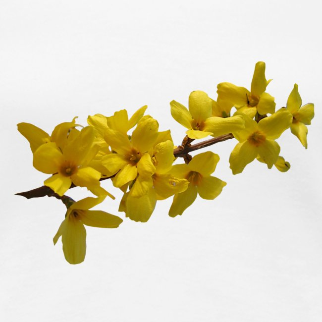 Forsythie Frühling