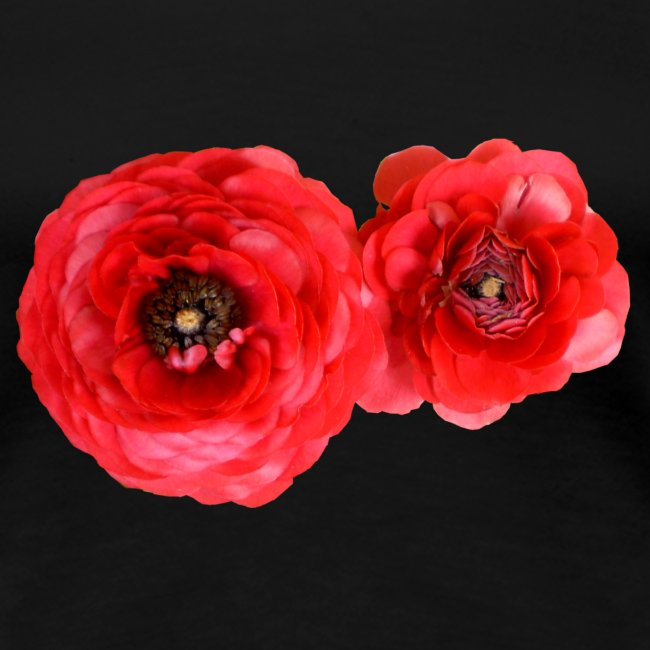 Zinnien rot Sommerblume