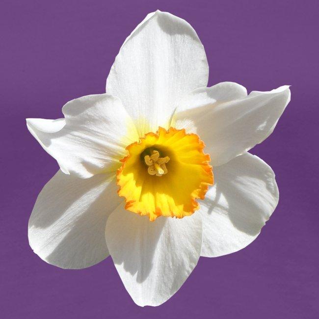 Narzisse Blume Frühling Ostern