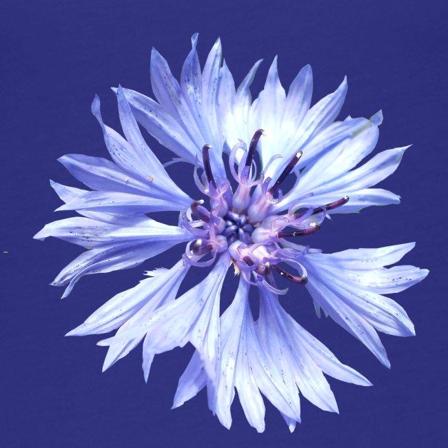 Kornblume blau Blume Sommer