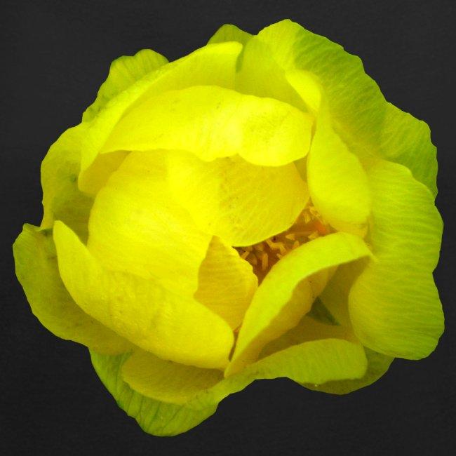 Trollblume gelb Sommer