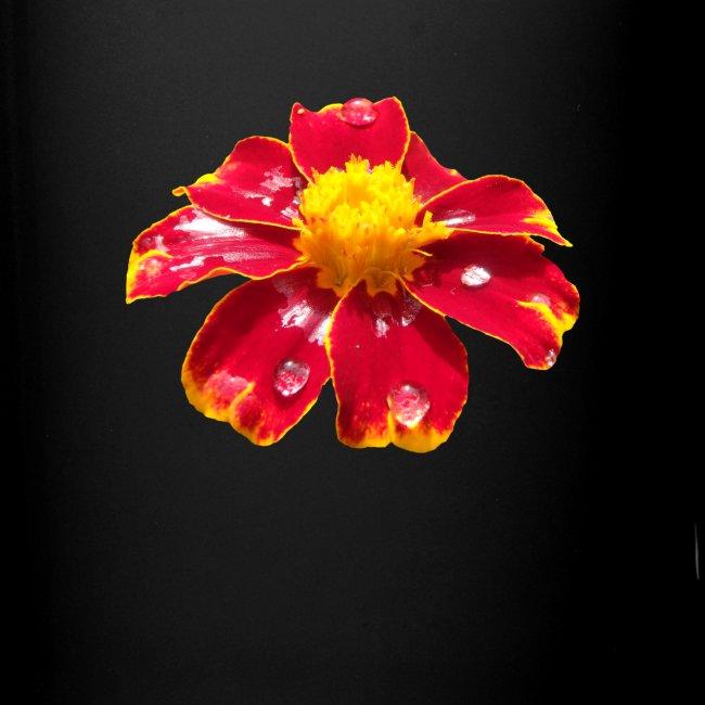 rote Ringelblume mit Regentropfen, Blume, Blüte