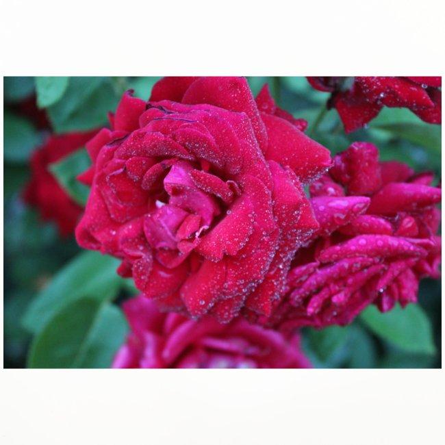 Rosa preciosa
