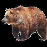brunbjørn.png