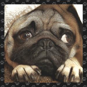 Mops Hund 1