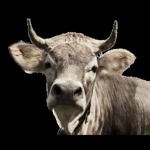 Die Kleine Hochnase-Kuh