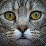 Bengal Cat Close Up