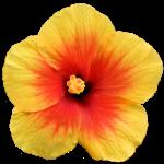 Hibiscus Garten