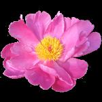 Pfingst Rose Garten