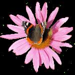 Sonnenhut Schmetterling Garten