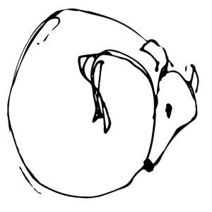 Kringelwindhund