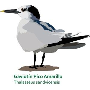 Gaviotin-Pico-Amarillo
