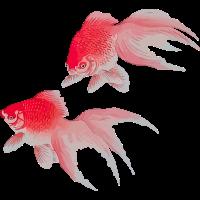 Goldfische 2