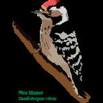Pico-Menor
