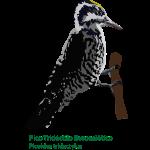 Pico-Tridactilo-Euroasiat
