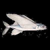 Schwalbenfisch (fliegender Fisch)