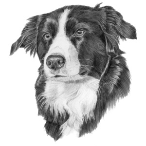 border collie 1