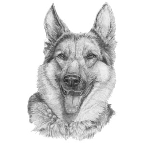 Schæfer German shepherd