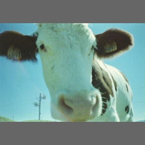 Cow life