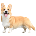 Topi the Corgi - Sideview