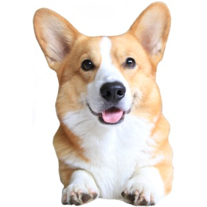 Topi the Corgi - Frontview
