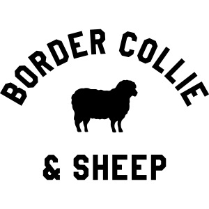 border collie and sheep
