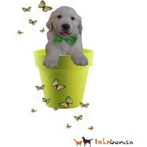 Cucciolo Golden Retriever in-vaso dalle farfalle