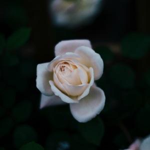 white rose fl sq jpg
