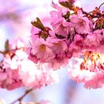 pink cherry blossom sq.jpg