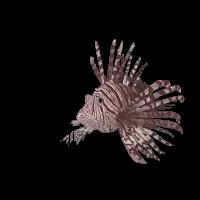 Nautilot Clothing - Pteroinae