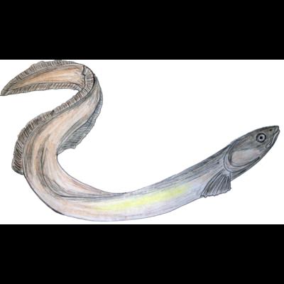 Aal - Breitkofpaal - Fischerei,Fischer,Breitkopfaal,Anglen,Aal