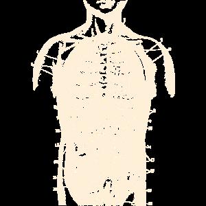 Anatomischen Körper