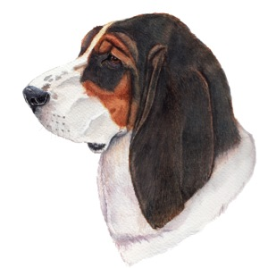 bassethound color